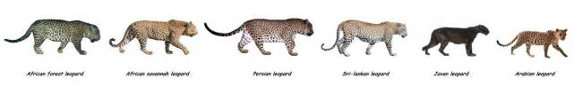 Leopard Jaguar Comparison Jaguar Venezuelano Vs Leopardo Monstro P 225 2