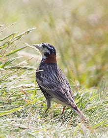 chestnut collared longspur wikipedia