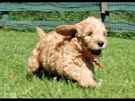 goldendoodle puppy week by week goldendoodle puppies 7 weeks explosion