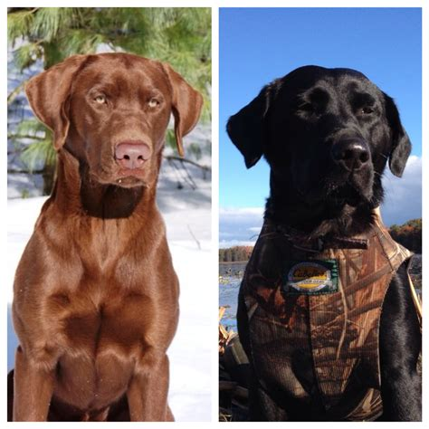 chocolate lab puppies in michigan black and chocolate lab puppies michigan sportsman michigan and