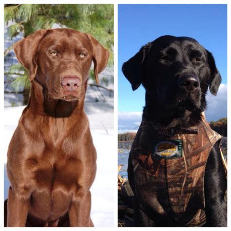 chocolate lab puppies michigan black and chocolate lab puppies michigan sportsman michigan and