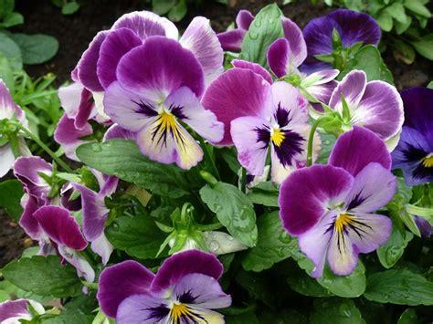fiore viole viola pensiero viola tricolor piante annuali la