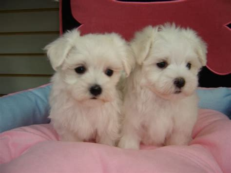 maltese puppies for sale in ma maltese puppies for sale in ma zoe fans baby animals minis