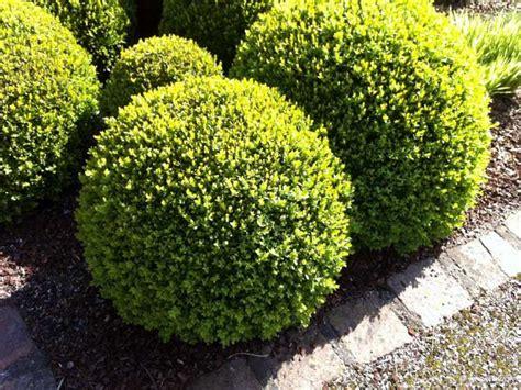 buchsbaum alternative f 252 r kranken buchsbaum gibt es gute alternativen
