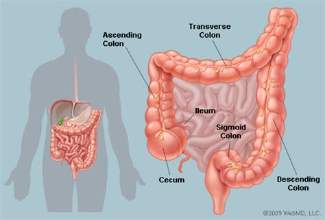 sections of colon part of the digestive system that gets nutrients from food