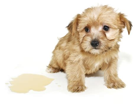 how often should a puppy urinate puppies montreal