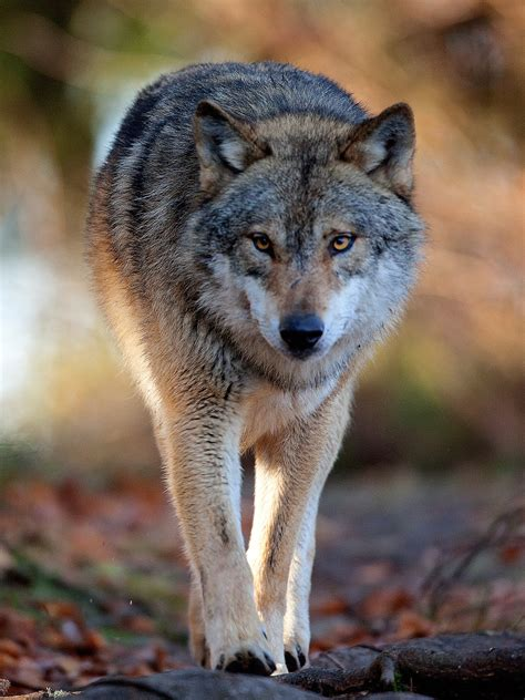 what is a wolf eurasian wolf canis lupus lupus canidae eurasian wolf and wolves