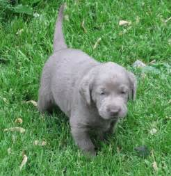 Rare silver labrador puppies for sale