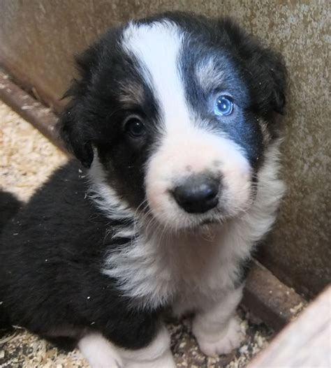 border collie puppies for sale border collie herding border collies for sale breeds