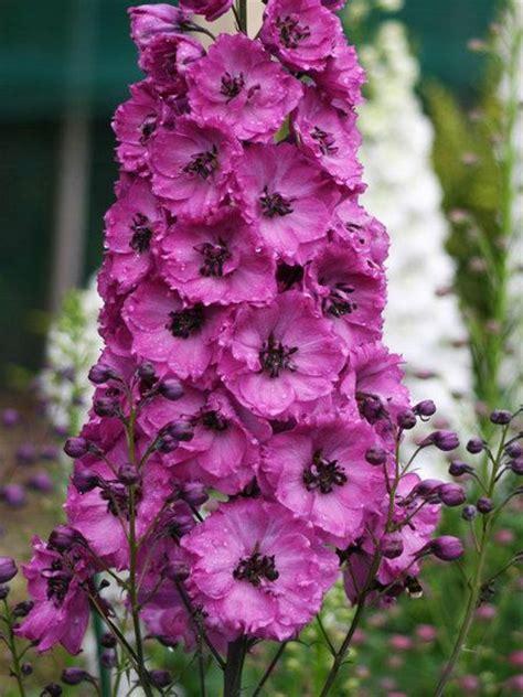 delphinium elatum pink punch flowers pinterest