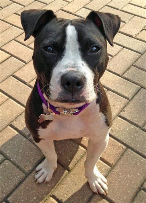 american staffordshire terrier puppies for adoption 25 best ideas about american staffordshire terriers on staffordshire
