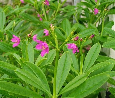 tanaman som jawa ginseng jawa bibitbungacom