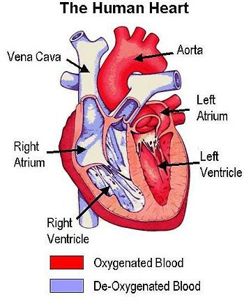 sle biography for ks2 medical pictures info cardiovascular disease