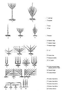 Taille Des Arbres Fruitiers Wikip 233 Dia