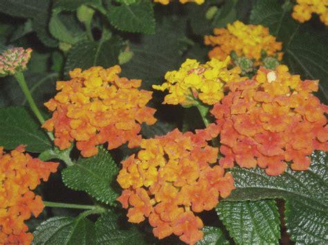 pianta fiori arancioni pianta grassa con fiori arancioni la scelta giusta 232
