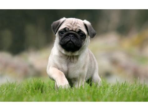 pug carlino caracteristicas el perro carlino o pug mascotator