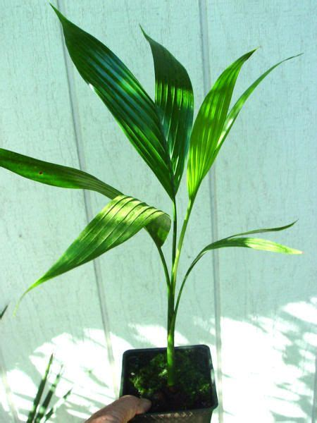 betel palm plant leaves plants house plants