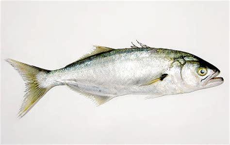 cucinare il pesce serra pesce serra