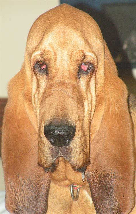 pets  adoption  southeast bloodhound rescue