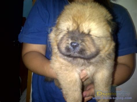 Jual Anakan Chow Chow Best Quality dunia anjing jual anjing chow chow jual anakan chow chow