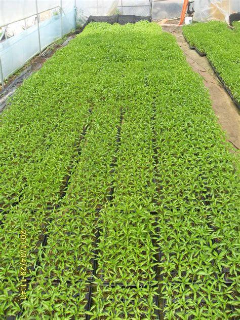Bibit Terong Kecil dunia tani cara menanam terong ungu nashubi