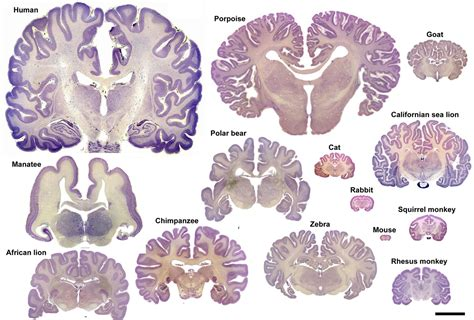 how big is a dogs brain frontiers the evolution of the brain the human nature