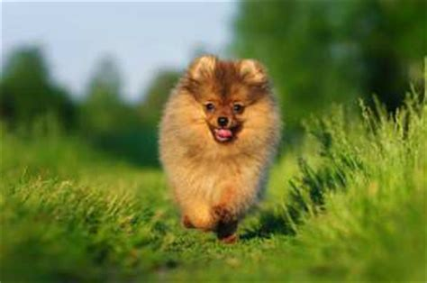 pomeranian exercise pomeranian exercise for puppy and needs and requirements