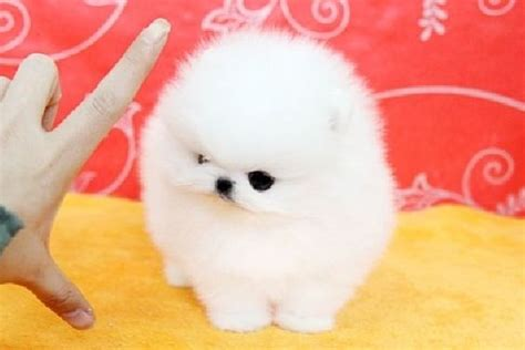 teacup pomeranian puppies for sale in indiana pomeranian puppies for sale in indiana zoe fans baby animals