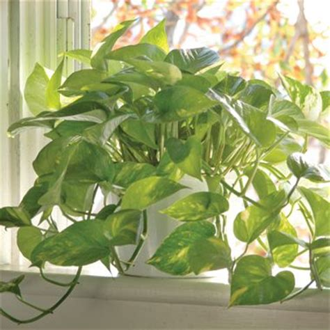 air cleaning plants finding plants  clean