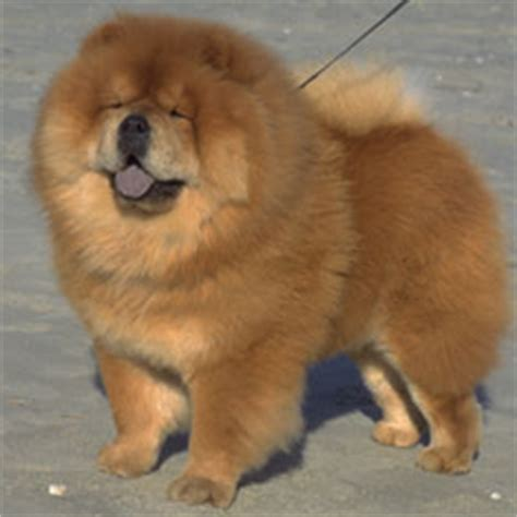 akc puppy finder chow chow puppies for sale akc puppy finder