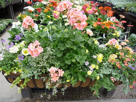 sun loving bedding plants hyams garden accent store