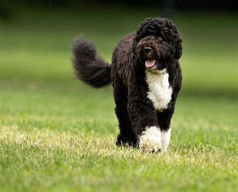 obama breed 17 best images about a puppy on cavalier king charles tibetan mastiff and