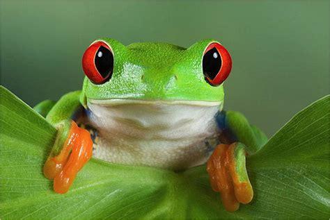 Imagenes De Ranitas Verdes | la fascinante rana verde de ojos rojos la reserva
