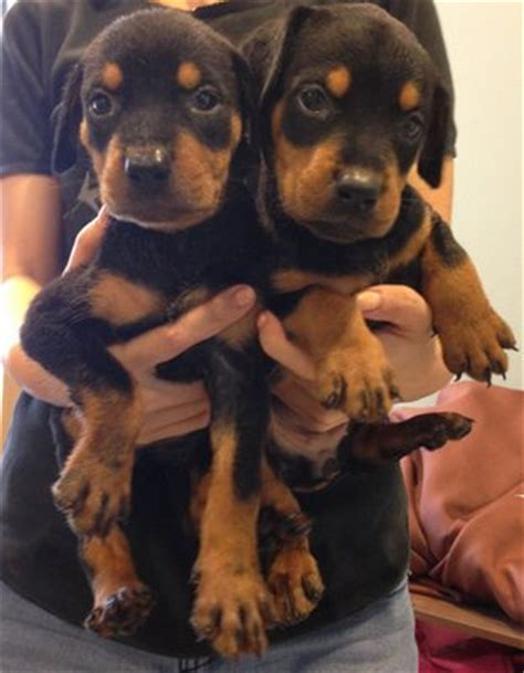 Doberman Pinscher Rottweiler Puppies Sold 5 Years Doberman Mix Rottweiler From