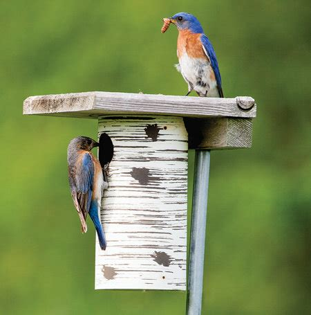 attracting bluebirds to your backyard attract bluebirds to your yard tractor supply co