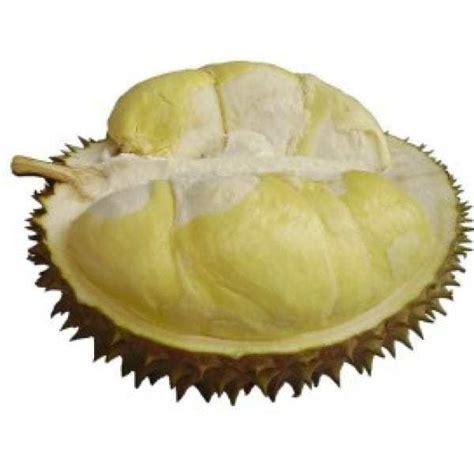 Bibit Tanaman Obat Cengkih 60cm jual bibit unggul tanaman durian montong bibit