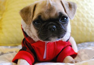 san diego pug pug puppies for sale san diego pugs