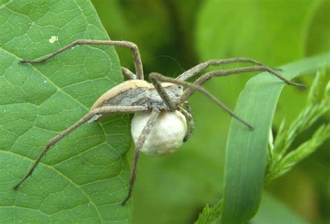 White Garden Spider Uk Arachnida