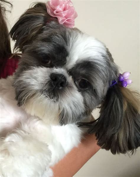 thicken shih tzu tails bubbles the shih tzu and piggy tails dog pinterest 犬