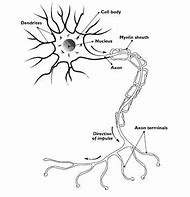 Best 25 ideas about neuron diagram find what youll love blank neuron diagram ccuart Choice Image