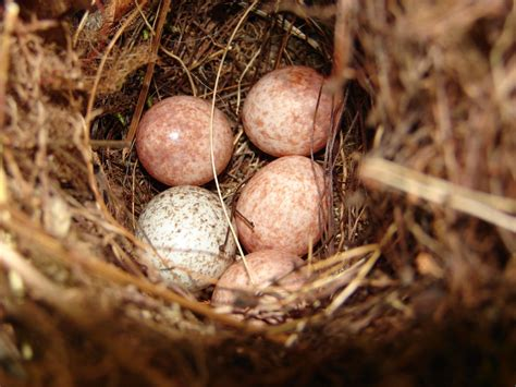 image gallery wren eggs