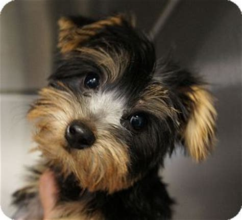 california yorkie rescue 1000 ideas about terrier mix on pit bull mix dogs for adoption and