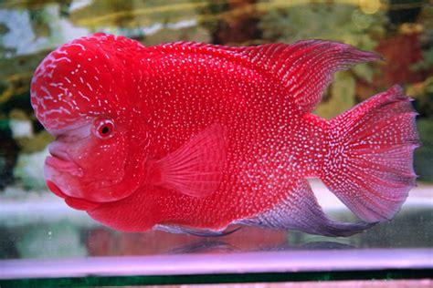 Pakan Ikan Louhan Untuk Warna cara mudah dan aman meningkatkan warna dan jenong ikan