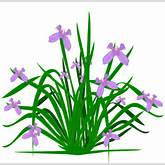iris is a species of flowering plant with showy flowers you can use ...