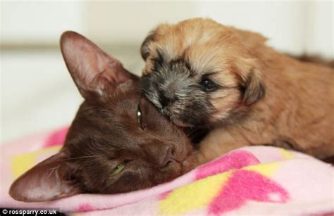 shih tzu and cats abandoned shih tzu puppy adopted by siamese cat after being rejected by