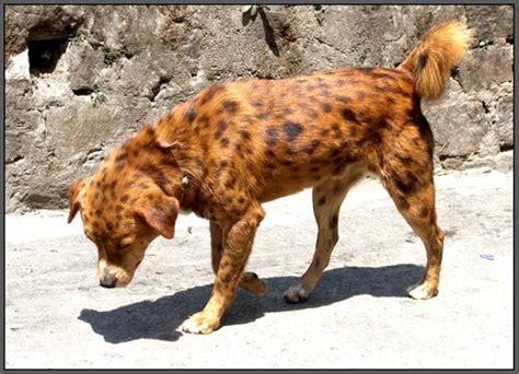 cheetah puppy cheetah hybrid baxterboo