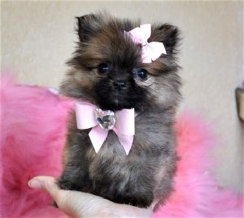how much is a teacup pomeranian 17 best images about teacup pomeranian different colors on micro teacup