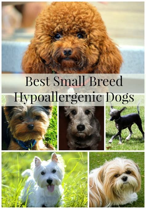 best small breed dogs best hypoallergenic small breeds fidoactive