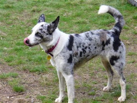 koolie puppies breed of the day koolie breeds and doggies