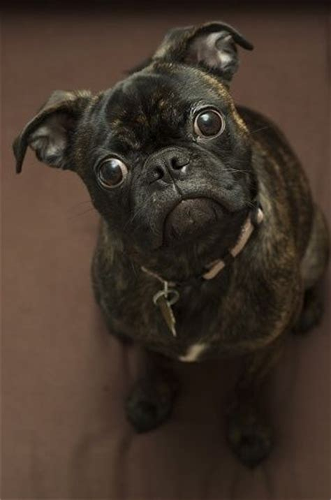 different pug breeds 1000 ideas about pug mixed breeds on pug mix pug beagle mix and pug
